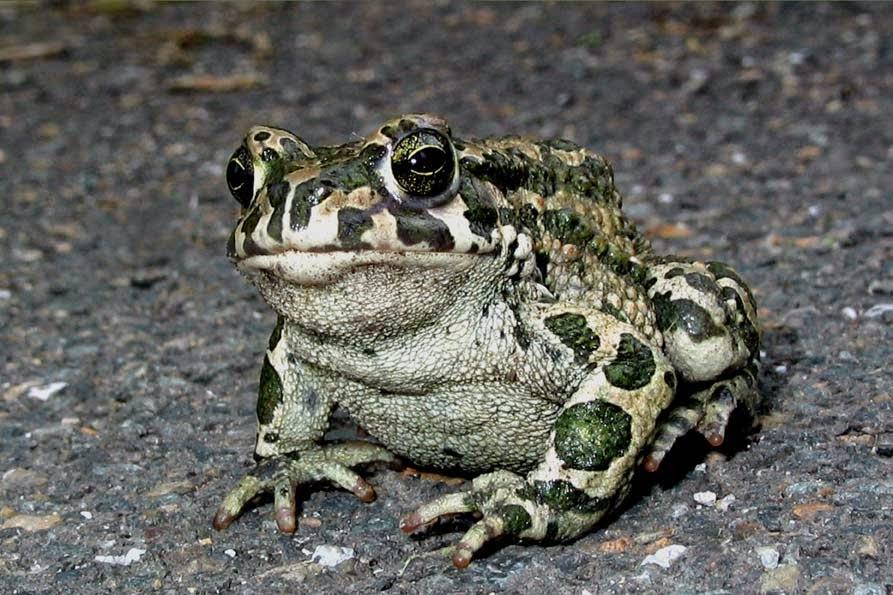 В сказках колдуны расправлялись с врагами, превращая их в жаб