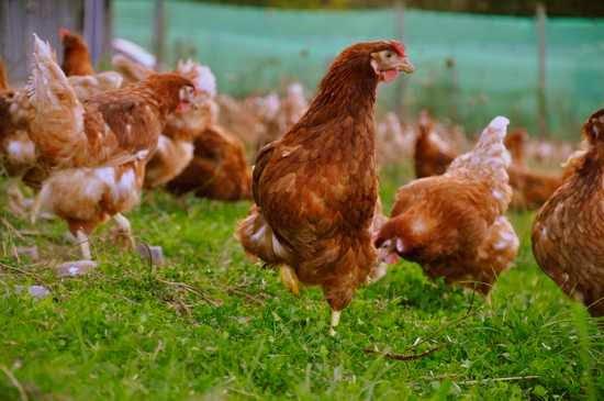 Gallos y gallinas en los sueños