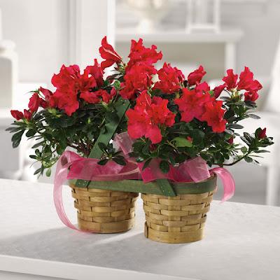 Come coltivare le azalee piante in fiore e il mio for Cura azalea