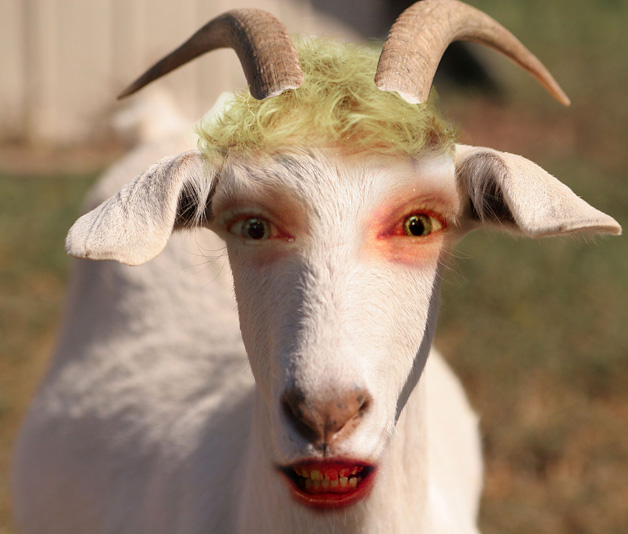 funny looking goat - photo #9