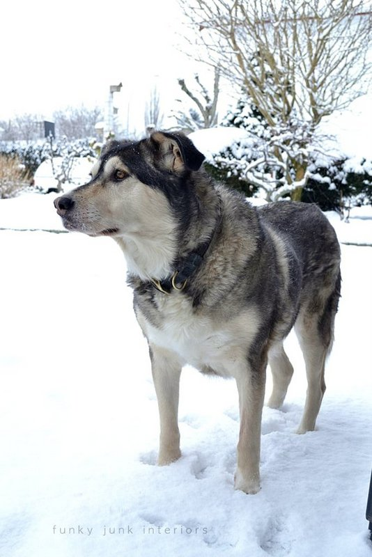 husky shepherd cross dog