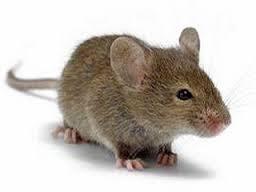 Cara Pintar dan Alami Mengusir Tikus, Pasti Ampuh