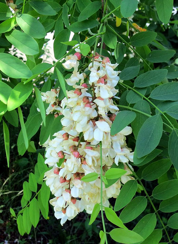 The foraged foodie foraging identifying harvesting black locust black locust flowers taste surprisingly like the sweetest of sweet spring peas but with a floral element as well the texture of the bases is somewhat mightylinksfo