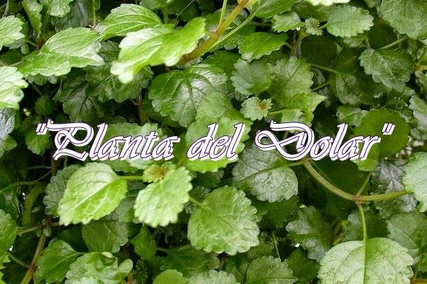 Abundancia amor y plenitud plantas sanadoras magicas - Plantas para atraer el dinero ...