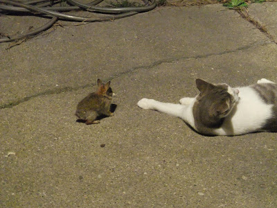 cat playing with rabbit, baby