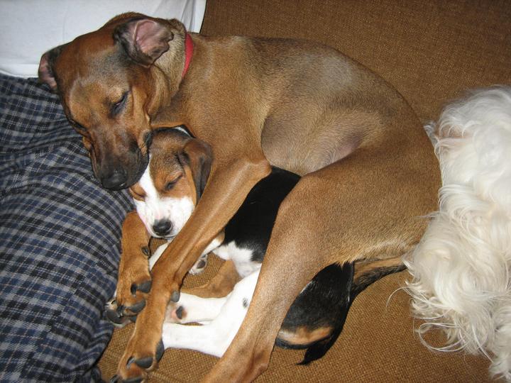Beagle Dachshund Mix Puppies  Dachshund Beagle Terrier Mix