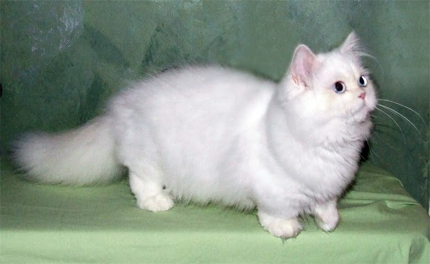 Back Of The Cereal Box Cat Breed Whose Name Must Be Whispered. Teacup Rug  Hugger Kitten