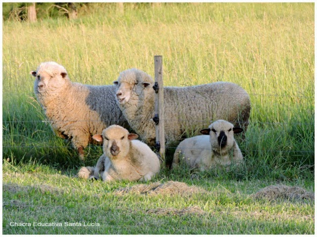 Ovejas con los 2 corderos nacidos en junio - Chacra Educativa Santa Lucía