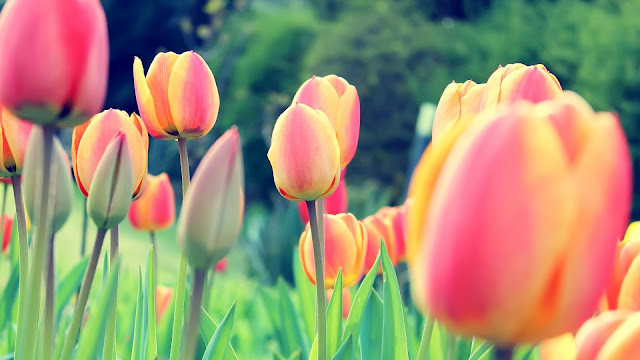 Easter Tulips HD Wallpaper