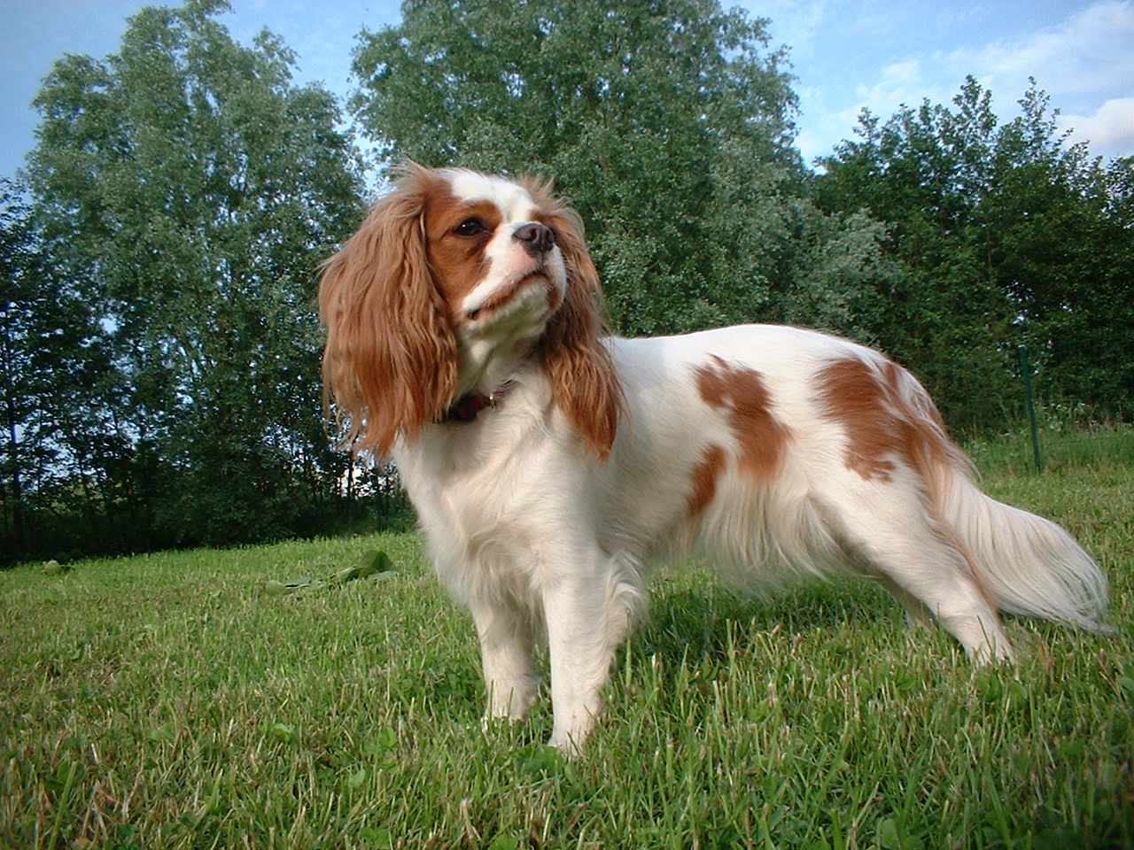 king charles spaniel is a baby brand of spaniel type dog and is