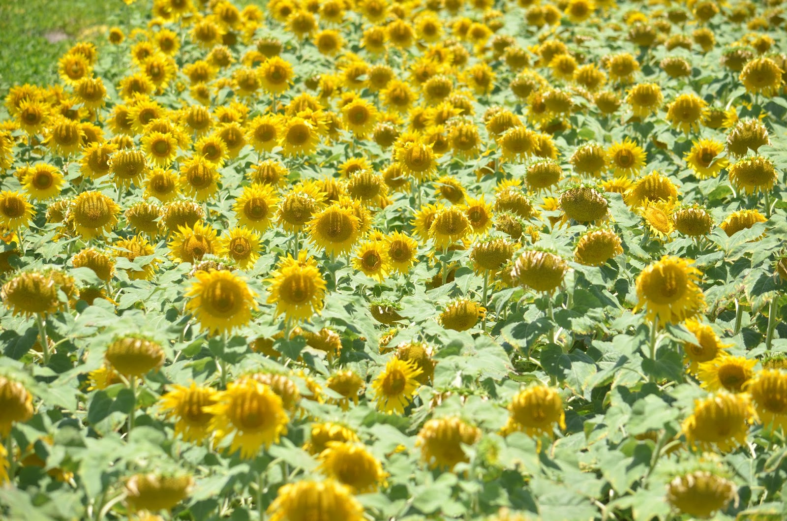 Dream of Sunflowers, what dreams of Sunflowers in a dream to see 29