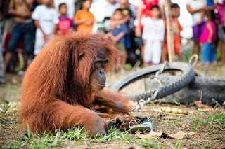 Ael is a wild female orangutan, captured and taunted by villagers