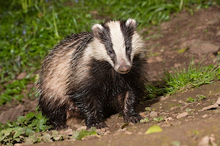 Badgers Cute Animal