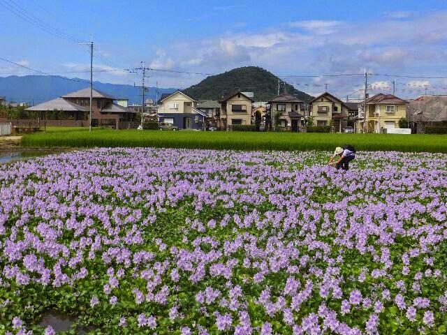 ホテイアオイの花、他では見ることが出来ない想像以上のスケールだった。