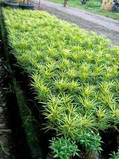 Jual aneka tanaman hias dan rumput | supplier tanaman tukang taman dan tanaman