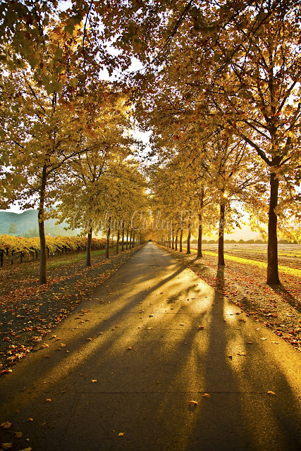 Beaulieu Garden Driveway - Rutherford, California