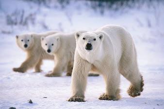 #5 Polar Bear Wallpaper