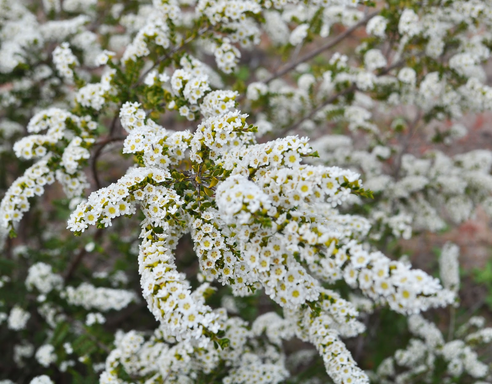 A Passion For Flowers Thryptomene