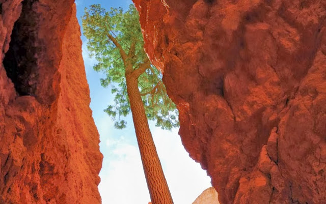 Western Yellow Pine in Utah's Bryce Canyon National Park, US