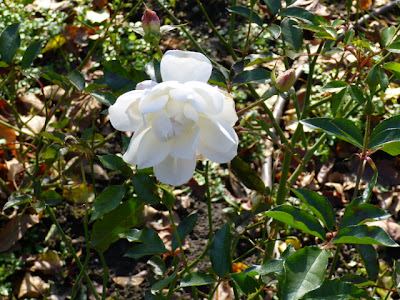 White iceberg rose in full bloom in the Gardens in November.