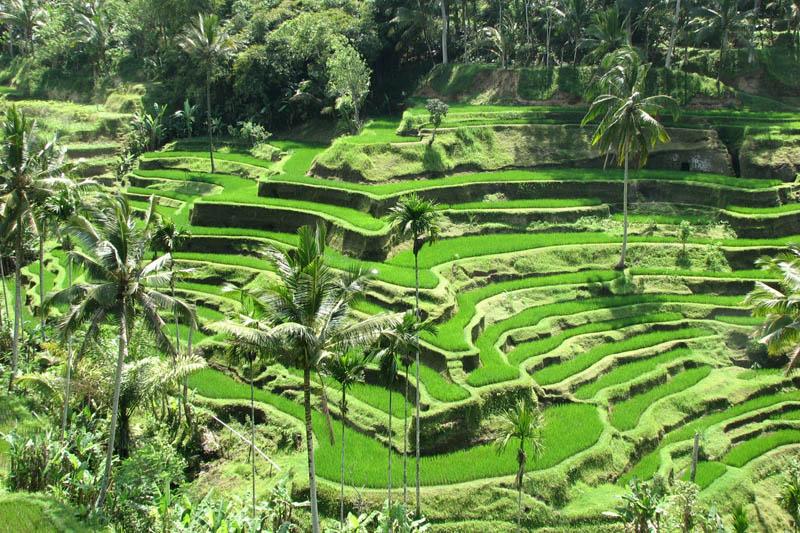 Terasasta polja  Pirincana-polja-8