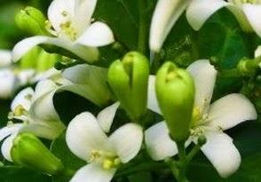 gambar dan manfaat bunga kemuning