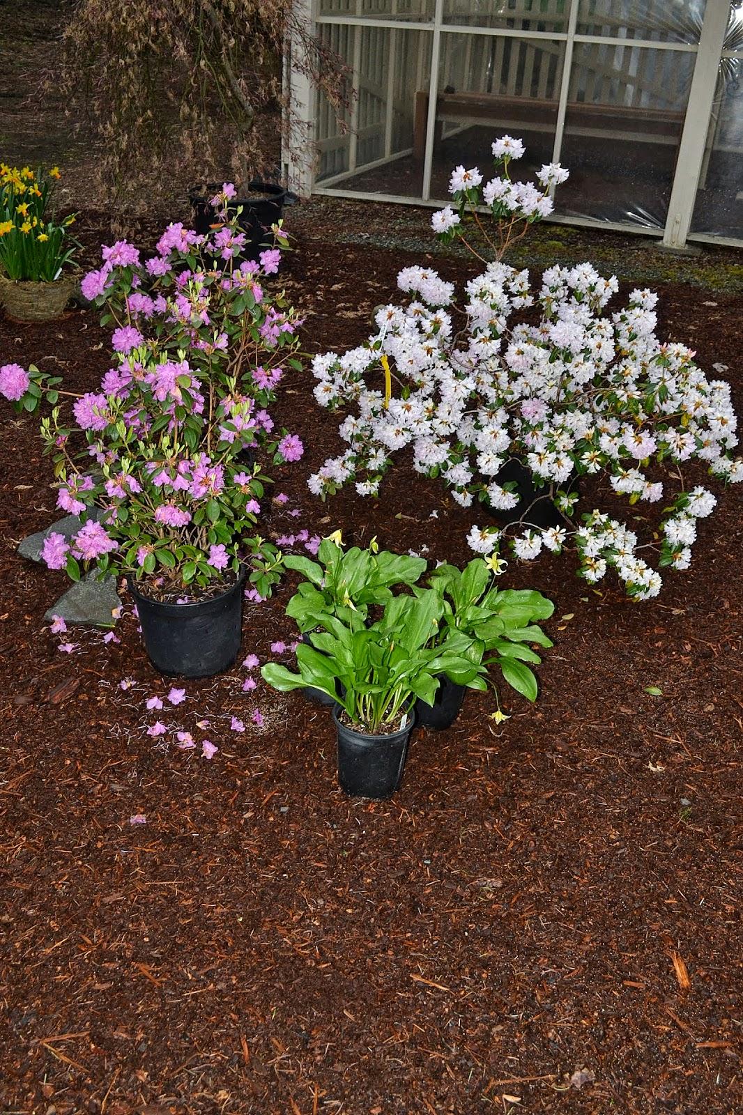The Outlaw Gardener: Springing Over to the Rhododendron Garden Nursery