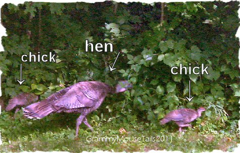 wild turkey hen with 2 chicks