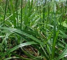 Kandungan Manfaat Rumput Teki untuk Kesehatan Wanita