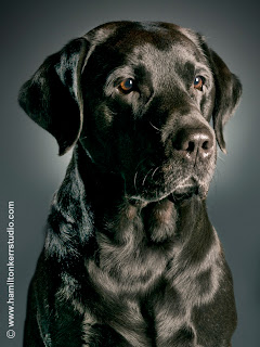 Photo of a black retriever with a very glossy coat