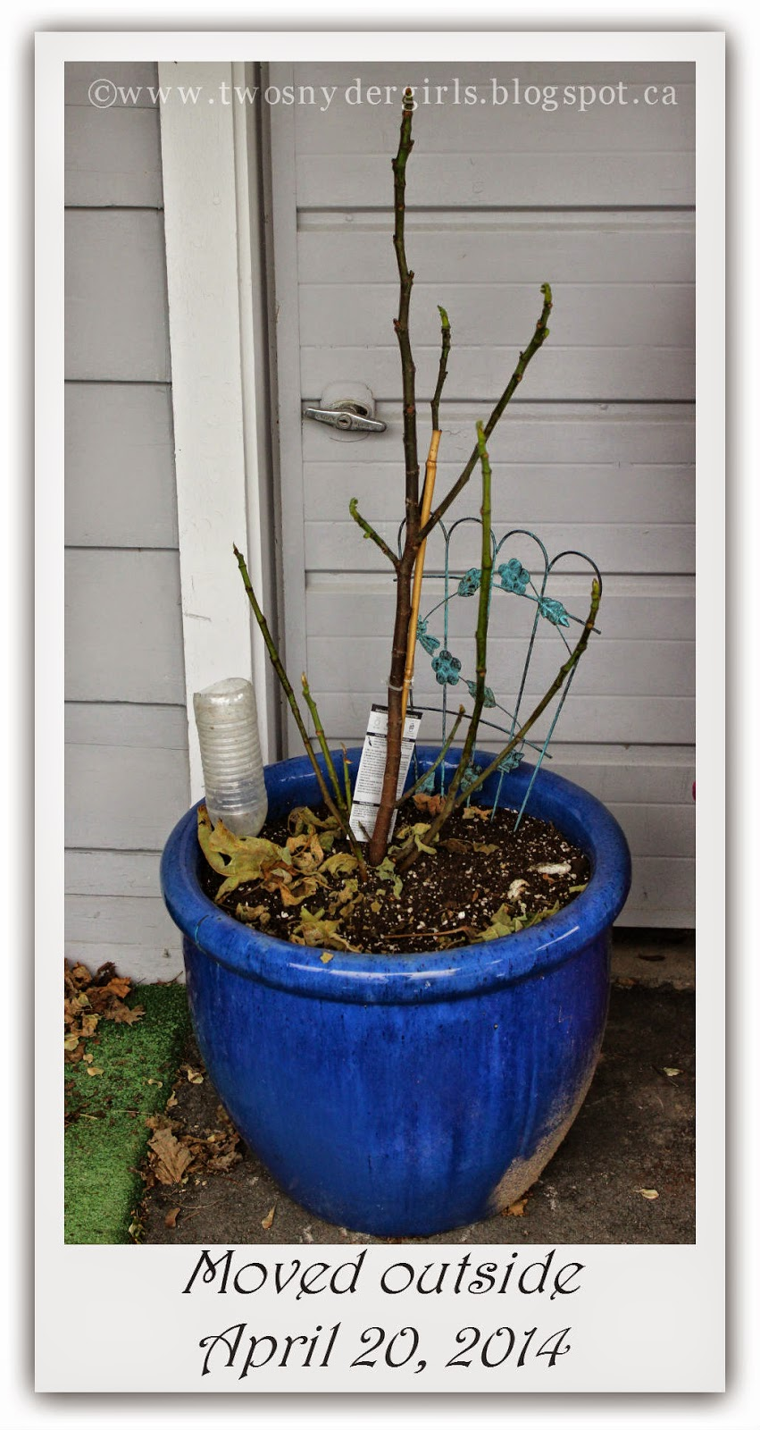Fig tree moved outside 2014