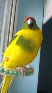 Budgie Mango at the window