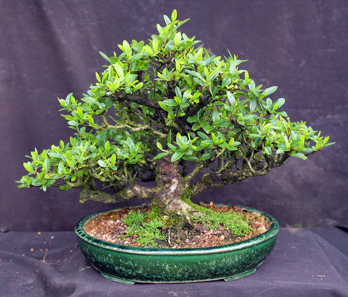 Little Cornish Trees The Wonderful Bonsai Merry Go Round