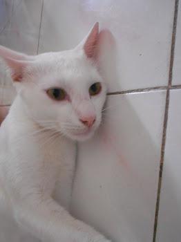 Kucing aku -PUTIH-