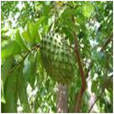 Jenis buah sirsak mandalika
