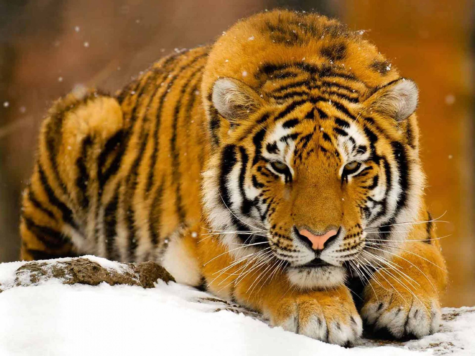 tiger wallpapers desktop hd photo images 21