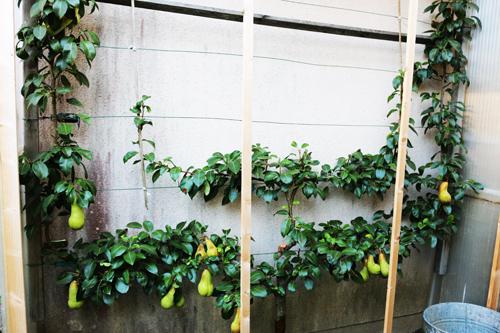 les secrets de la taille et de la greffe des arbres fruitiers bio ma trisez les engrais bio. Black Bedroom Furniture Sets. Home Design Ideas