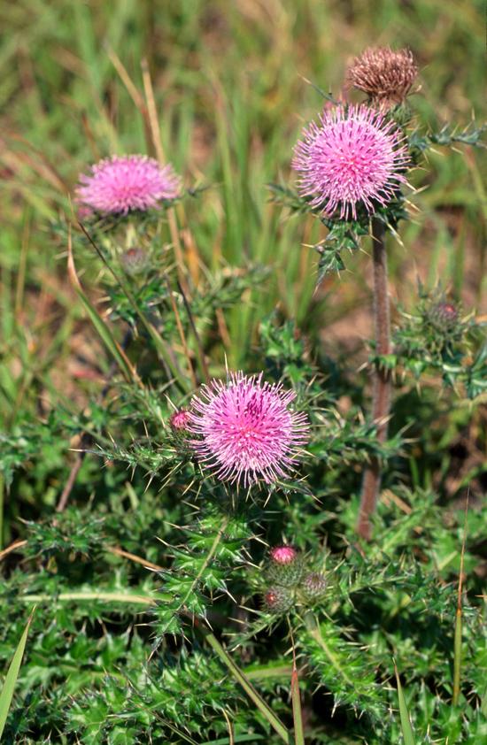 Cirsium setosum (Willd.) MB. (Fam. Asteraceae)