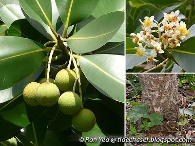 Penaga Laut (Calophyllum inophyllum)
