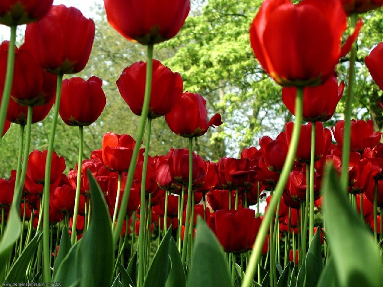 7 imagenes de regalos de rosas rojas y frases tiernas para  - Flores De Rosas Rojas Fotos