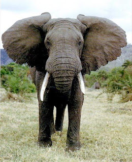 African Elephant classification