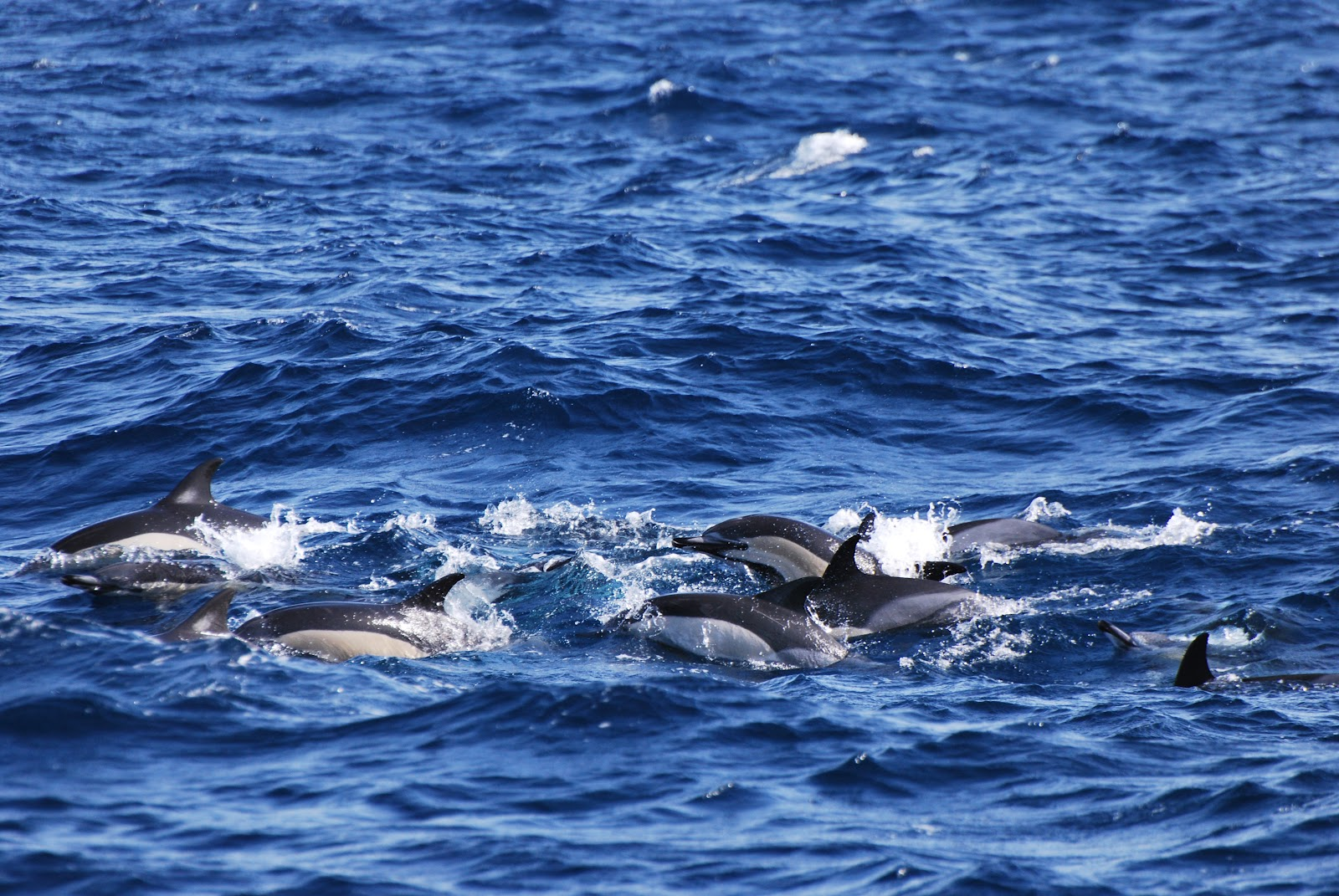 azores whale watching futurismo rough sea but lots of dolphins