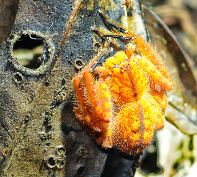 Huntsman or Giant Crab Spider (Sparassidae) (Heteropoda cf davidbowie)