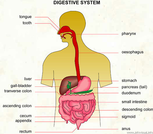 Complete Digestive System