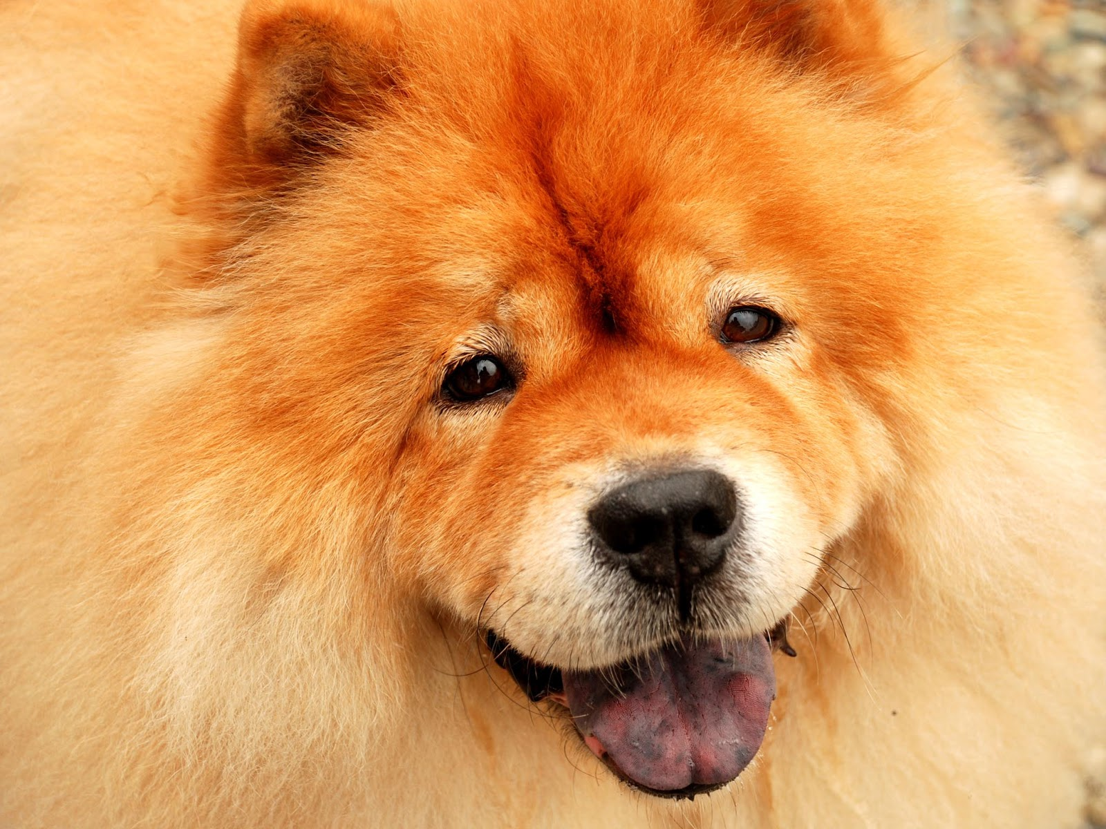 Our beautiful world chow chow dogs - Images of chow chow puppies ...