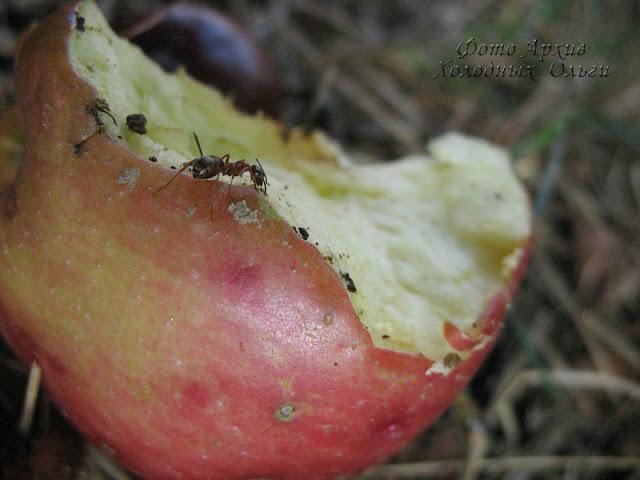 Муравей на яблоке