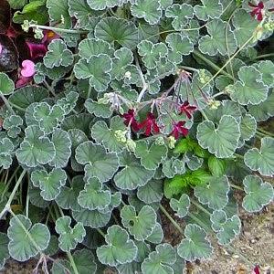 Benefits Of Umckaloabo (Pelargonium Sidoides) For Health