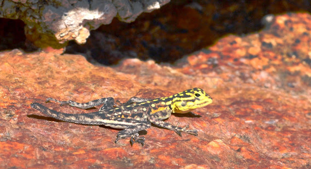 Lizard with yellow head and yellow spots on black body