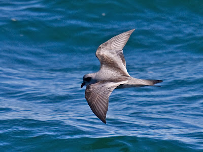 Oregon sea birds: Fork-tailed Storm-Petrel