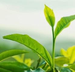 good green tea brands